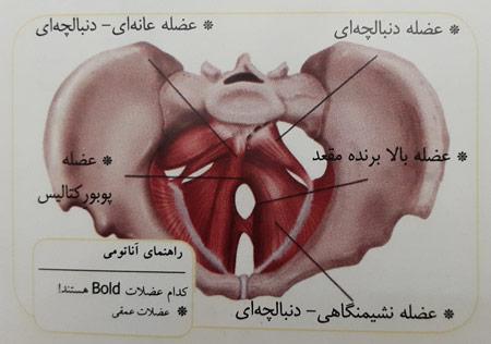 عضلات مرکزی