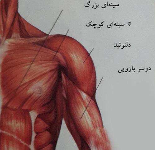 کشش عضلات سینه ای